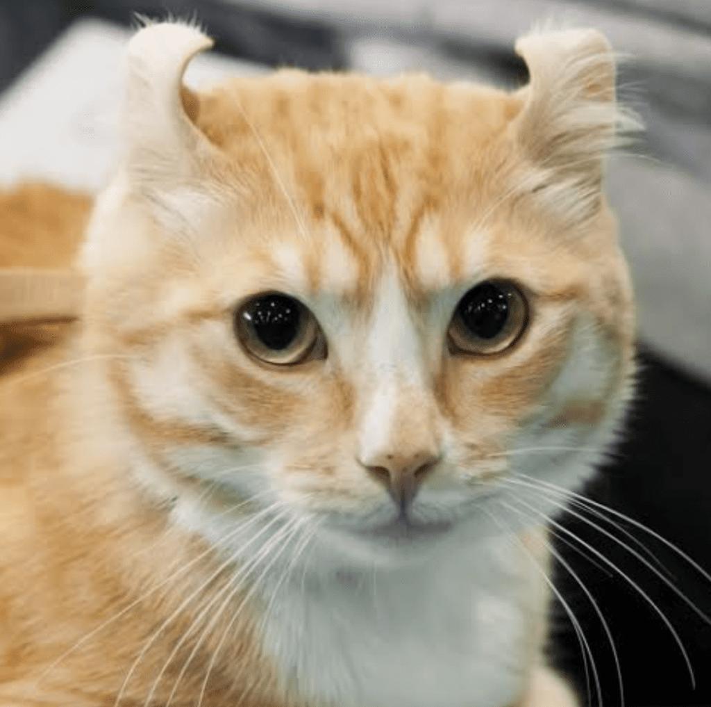 kinkalow cat breed