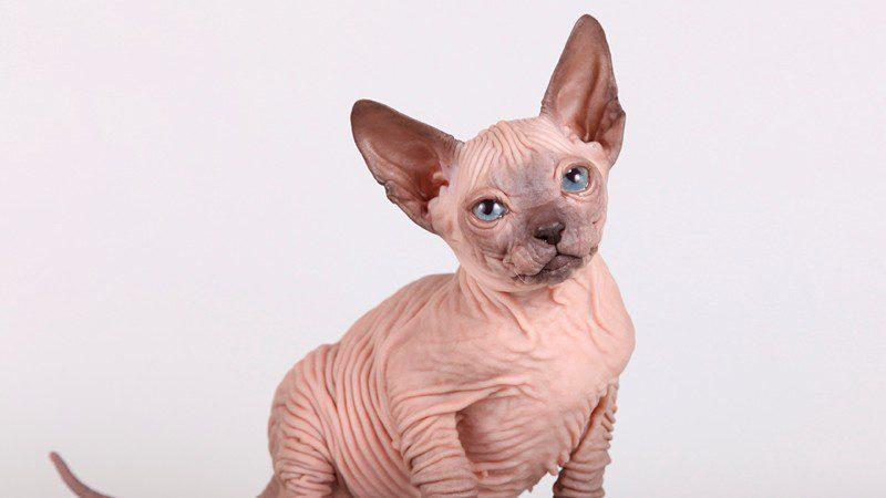 Minskin Cat Breed