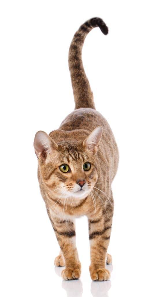 Serengeti Cat Breed