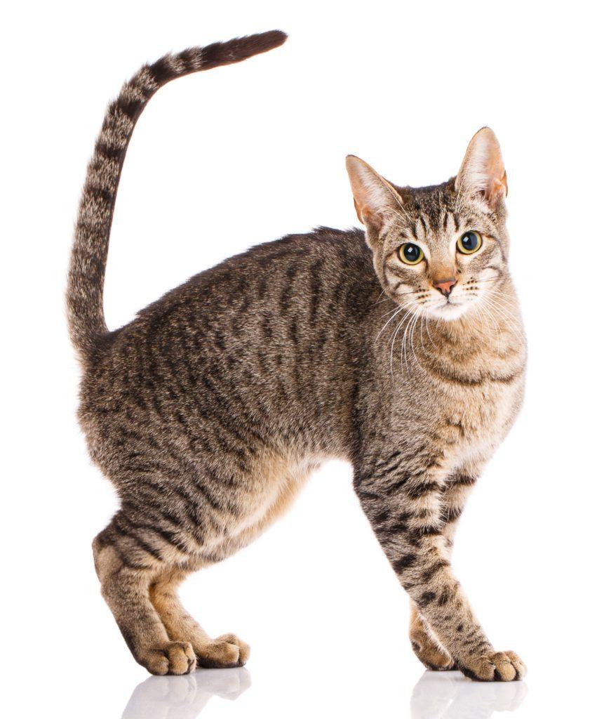 cute Serengeti Cat