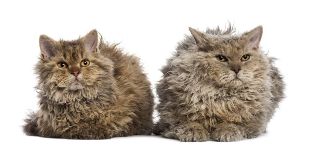 Selkirk Rex Cat Breed