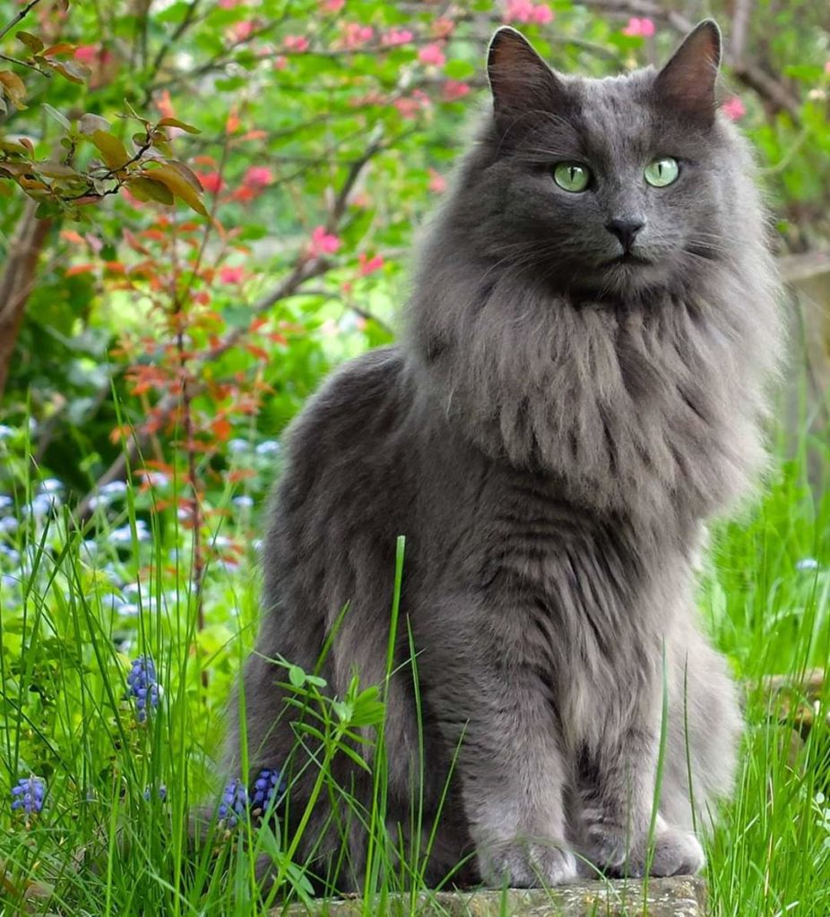 nebelung cat breed