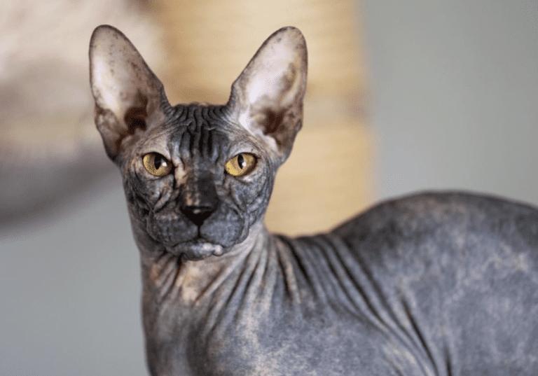 Donskoy Cat Breed