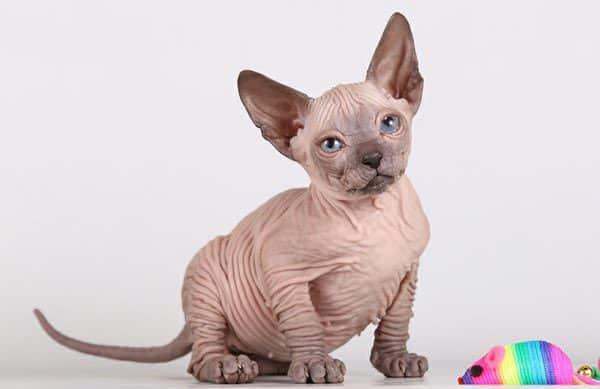 donskoy kitten